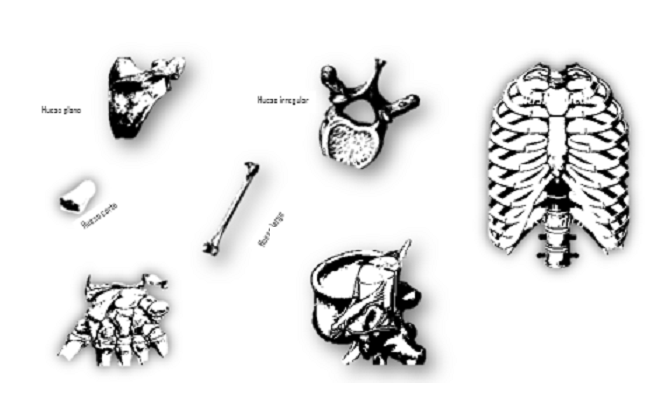Clasificación de los huesos